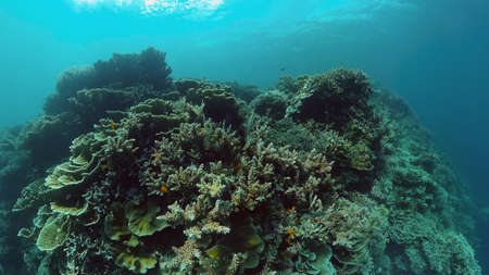 Coral reef underwater with tropical fish. Hard and soft corals, underwater landscape. Travel vacation concept. Philippines.