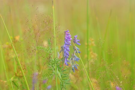 Purple bunches of wild flowers
