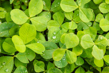 Green Clover in forest after rain. Background or texture of the leaves of the shamrock with drops of dew
