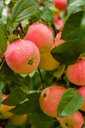 Close-up of red ripe apple on branch in soft-focus in the background. Apple tree. Apple with rain drops. Ripening apple fruit on branches in garden after rain Stockfoto