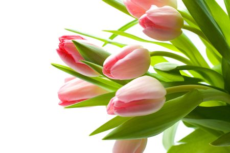 Fresh Pink Tulips photo