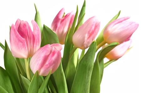 Fresh pink tulips photo