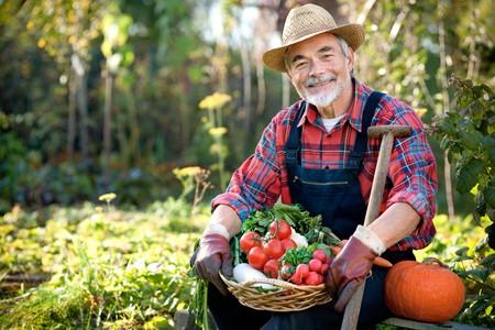 農家: 収穫した野菜のバスケットの庭師のシニア