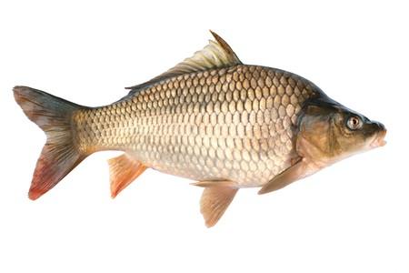 mirror carp: Common carp.Cyprinus carpio. Isolated on white
