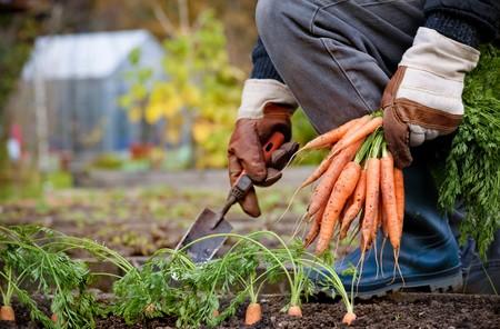 root vegetable: gardener picking fresh carrots