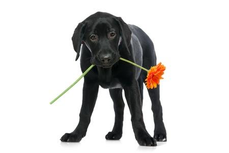 perro labrador: Cachorro Labrador retriever sosteniendo una flor en la boca
