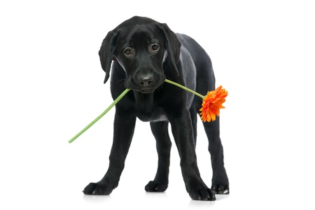 Puppy Labrador retriever holding a flower  in its mouth photo