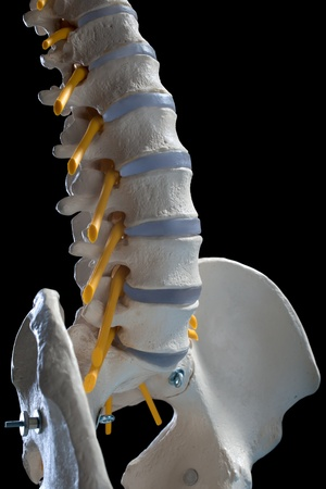 sacral spine:  learning model of the human spinal columns Stock Photo