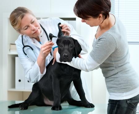 veterinario: m�dico veterinario haciendo un chequeo de un cachorro Labrador retriever
