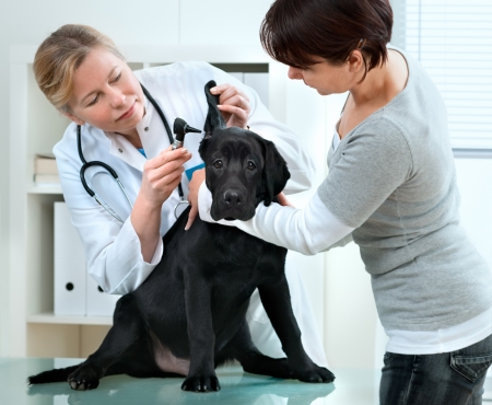 veterinarian doctor making a check-up of a puppy Labrador retriever photo