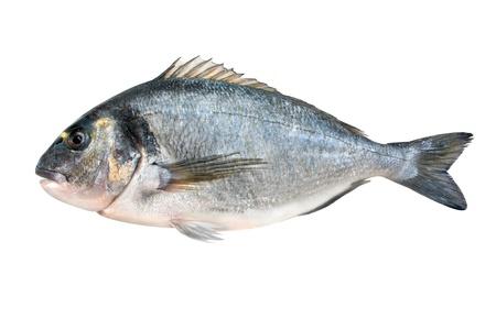 sparus: fresh gilt-head isolated on white Stock Photo