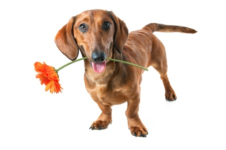 Puppy dachshund holding a flower in its mouth photo
