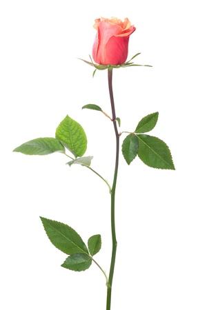 single rose isolated on white background photo