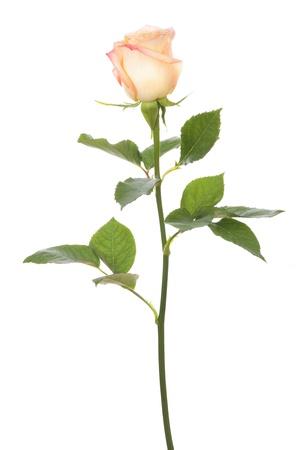 줄기: 단일 장미는 흰색 배경에 고립