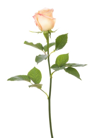 a bud: single rose isolated on white background