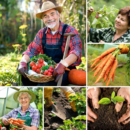 gardening gloves: Senior gardener with harvested vegetables in the garden