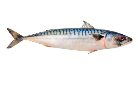 Pescado Caballa (Scomber scrombrus) sobre fondo blanco