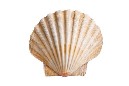 Jakobsmuscheln Schale (siehe Pectinidae) auf dem weißen Hintergrund Standard-Bild