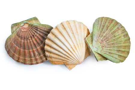 scallops shell (See Pectinidae) on the white background