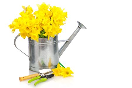 daffodils in a metal watering can over white background photo
