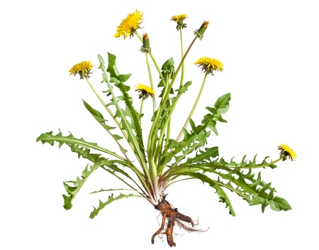 plantas medicinales: Diente de león Taraxacum officinale aisladas sobre fondo blanco