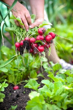 woman picking fresh radish from her garden photo
