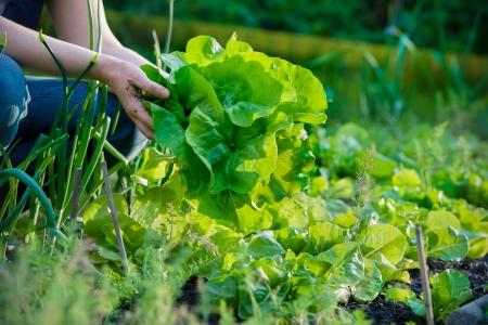 gardener: woman picking fresh lettuce from her garden Stock Photo