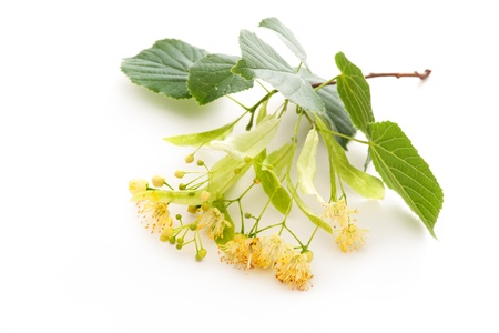 Tea tree: Flowers of linden tree on a white background Stock Photo