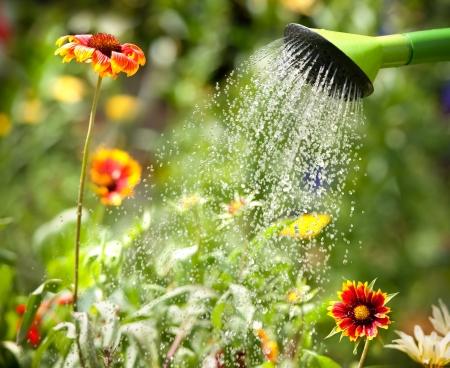 regar las plantas: Regar las flores con una regadera Foto de archivo