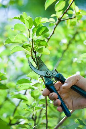 pruning shears: Pruning of  trees with secateurs in the garden Stock Photo