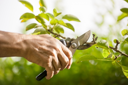 trimming: Pruning of  trees with secateurs in the garden Stock Photo