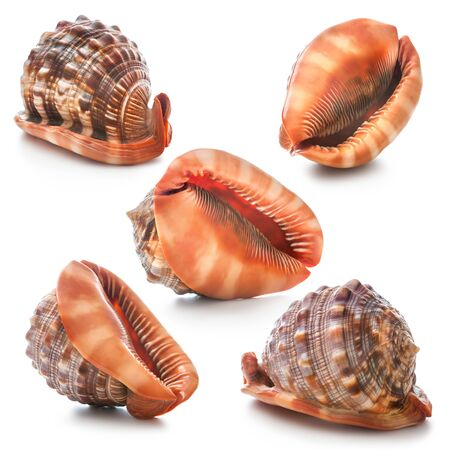 cockleshells: Seashell collection isolated on the white background Stock Photo