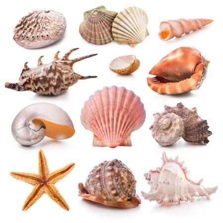 estrella de mar: Colecci�n Seashell aislado en el fondo blanco