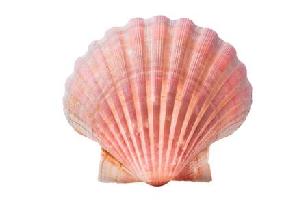 scallops shell  See Pectinidae  on the white background photo
