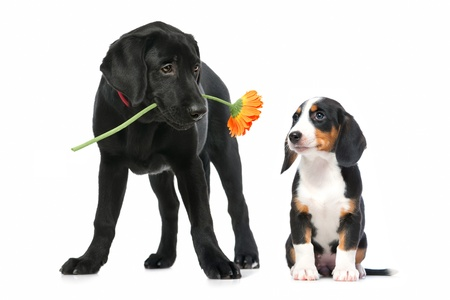 intrigued: Romantic dog couple in  love  Isolated on white Stock Photo