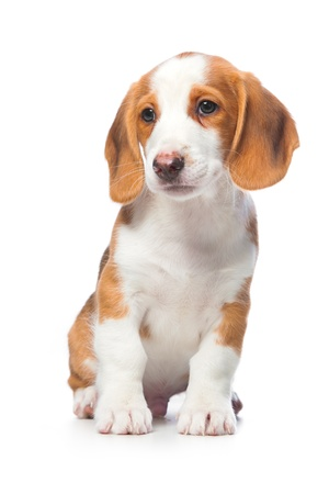 doxie: Dachshund puppy, Westphalian Dachsbracke on white background