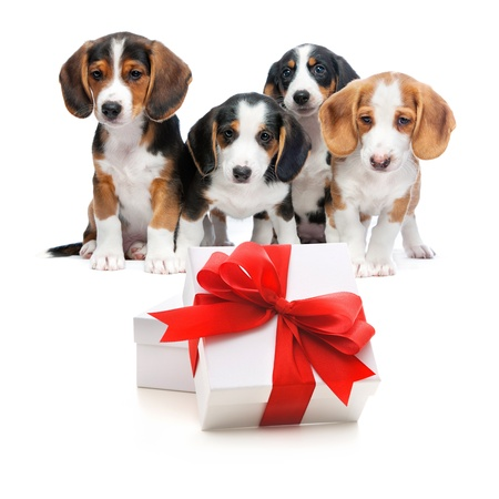 Four puppies from a puppy litter behind the gift boxes.Isolated on white background photo