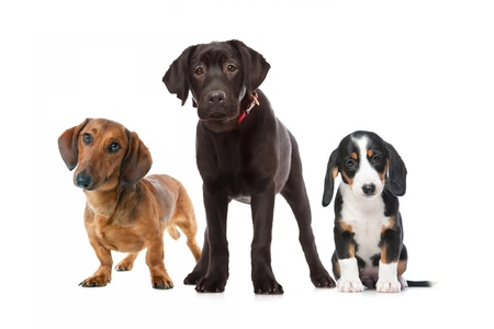 doxie: three puppies isolated on the white background Stock Photo
