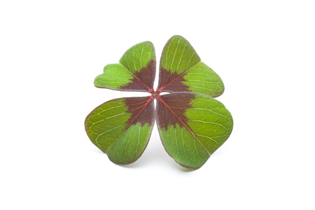Four leaf clover on a white background Stock Photo - 17475007