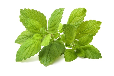 lemon balm: Lemon balm  Fresh green leaf of melissa over white