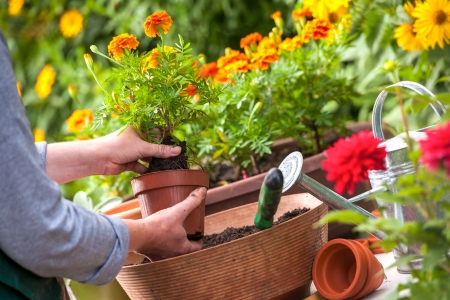 garden tool: Gardeners hand planting flowers in pot with dirt or soil Stock Photo
