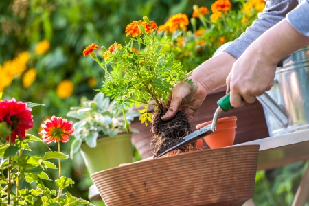 hand holding flower: Gardeners hand planting flowers in pot with dirt or soil Stock Photo