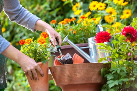 digging: Gardeners hand planting flowers in pot with dirt or soil Stock Photo