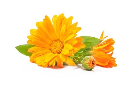 plantas medicinales: Caléndula. Flores de la maravilla con hojas aisladas en blanco