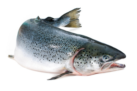 Salmo salar. Atlantic salmon on the white background