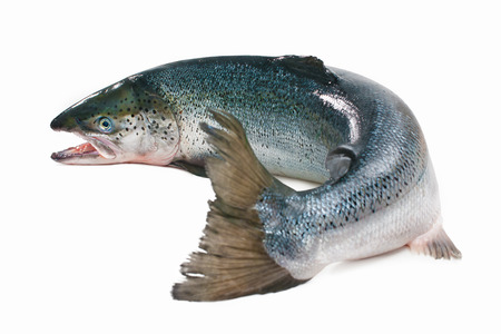 catch of fish: Salmo salar. Atlantic salmon on the white background