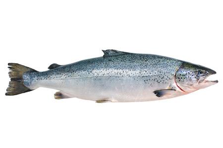 escamas de peces: Salmo salar. Salm�n del Atl�ntico en el fondo blanco Foto de archivo