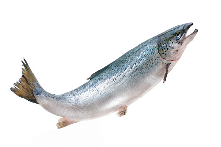 Salmo salar. Atlantischen Lachs auf dem weißen Hintergrund Standard-Bild - 22215665