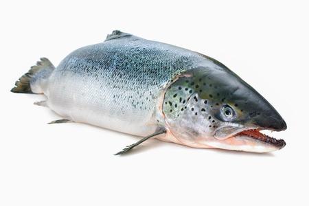 salmonidae: Salmo salar. Atlantic salmon on the white background