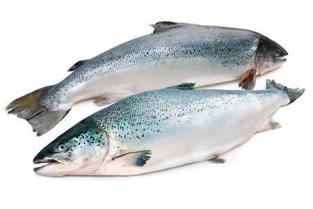 salmon fish: Salmo salar. Atlantic salmon on the white background